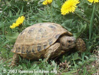 Russian Tortoise in tortoise heaven!
